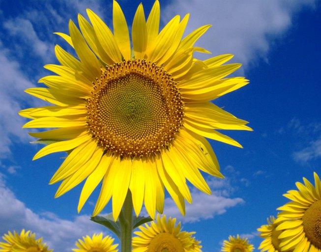 Foarea Soarelui